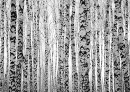 33898665 - winter trunks birch trees black and white