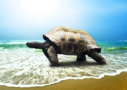 7997175 - big turtle on the tropical oceans beach